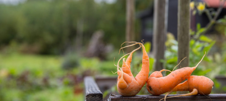 a photo of ugly shaped carrots