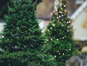 a photo of holiday fir trees