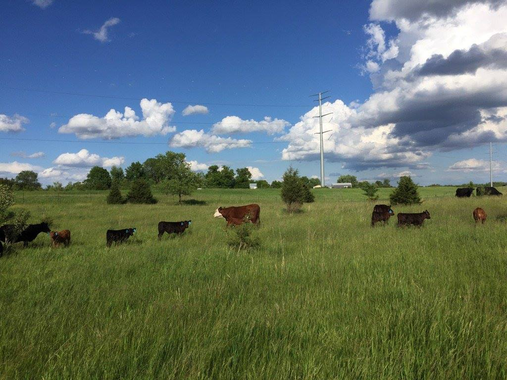 a photo of cattle grazing at Thousand Hills Cattle Co.