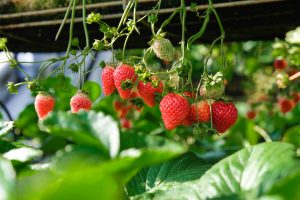 a photo of strawberries growing on a plant - some ripe and some unripened