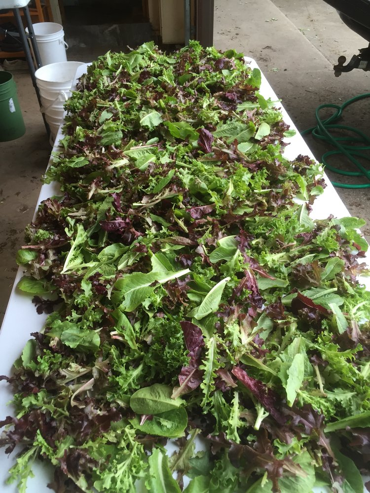 a photo of multicolored lettuce from Cedar Crate Farm