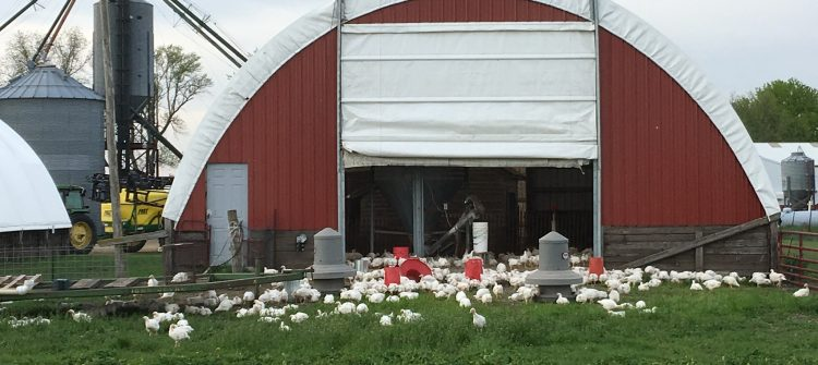 chickens outside a red barn