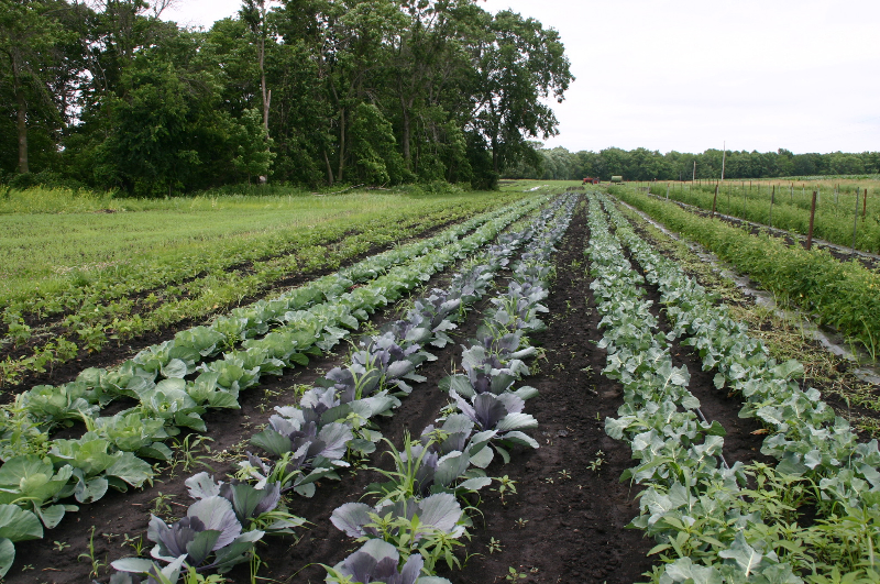 Rows of cabbage and broccoli at East Henderson Farm